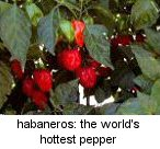 habaneros: the world's hottest pepper