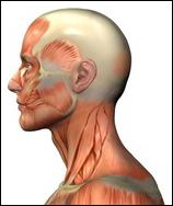 drawing of human head and neck musclature