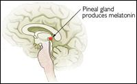 The pineal gland produces meletonin.